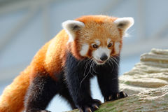 Endangered red panda Royalty Free Stock Photography