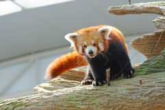 Endangered red panda Stock Image