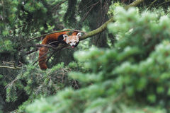 Endangered red panda showing its tongue while lying on conifer tree branches Royalty Free Stock Photo