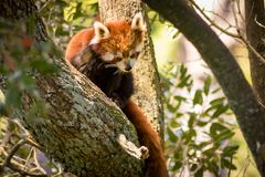 Endangered Red Panda Sitting In Tree. He red panda Ailurus fulgens, also called the lesser panda, the red bear-cat, and the red cat-bear, is a mammal native to Royalty Free Stock Photography