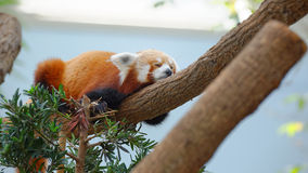 Endangered red panda sleeping royalty free stock photo