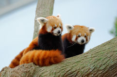 Endangered red pandas in their habitat Stock Image