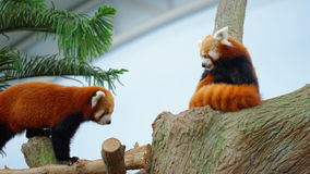 Endangered red pandas. On a tree branch Royalty Free Stock Photo