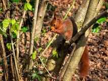 Endangered Red Squirrel Eating Fresh Spring Leaves Royalty Free Stock Photography