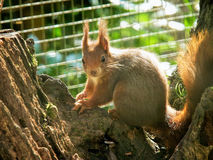 Endangered Red Squirrel. On tree stump in a shady area backlit by the sun Royalty Free Stock Photo
