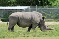 Endangered rhino Royalty Free Stock Photo