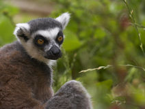 Endangered Ringed-tailed Lemur Royalty Free Stock Photos