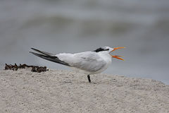 Endangered Royal Tern (Sterna maxima) Stock Photography