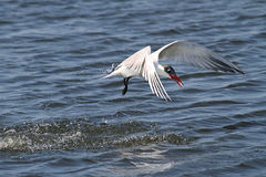 Endangered Royal Tern (Sterna maxima) Stock Photography