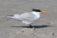 Endangered Royal Tern (Sterna maxima) Royalty Free Stock Photo