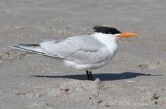 Endangered Royal Tern (Sterna maxima) Royalty Free Stock Photo