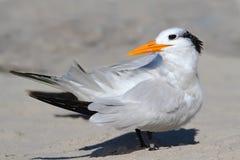 Endangered Royal Tern (Sterna maxima). On a sandy beach Stock Image