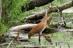 Endangered Sandhill Crane. In Illinois wildlife refuge Peter Exner Marsh Royalty Free Stock Photo