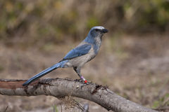 Endangered Scrub Jay Royalty Free Stock Photo