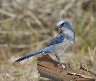 Endangered Scrub Jay Stock Photography