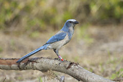 Endangered Scrub Jay Stock Photo