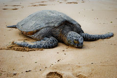 Endangered sea turtle. Sleeping on beach Stock Images
