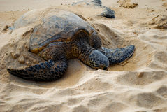Endangered sea turtle. Semi-buried in sand sleeping on beach Royalty Free Stock Images
