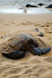 Endangered sea turtle. Semi-buried in sand sleeping on beach Royalty Free Stock Photo