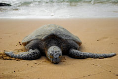 Endangered sea turtle. Sleeping on beach Stock Image