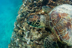 Endangered sea turtle. Close up of an endangered sea turtle over a reef Royalty Free Stock Images