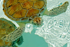 Endangered sea turtle blowing bubbles. Endangered sea turtle rising to breathe in Cozumel Mexico Stock Photos