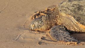 Endangered sea turtle resting on the beach, Oahu, Hawaii, USA. Close up of an endangered sea turtle resting on the beach in the sunset light, Oahu, Hawaii, USA stock video footage