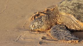 Endangered sea turtle resting on the beach, Oahu, Hawaii, USA. Close up of an endangered sea turtle resting on the beach in the sunset light, Oahu, Hawaii, USA stock video