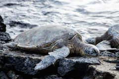 Endangered sea turtles sunning on a rocky shoreline. Two endangered sea turtles sunning on a rocky tropical shoreline with water behind royalty free stock image