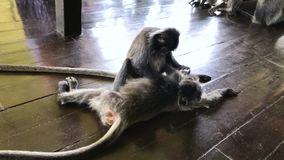 Endangered Silver Leaf Monkey or Silvery Lutung, Trachypithecus cristatus. AKA Silvered Leaf or Silvery Langur stock video