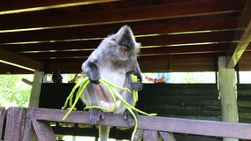 Endangered Silver Leaf Monkey or Silvery Lutung, Trachypithecus cristatus. AKA Silvered Leaf or Silvery Langur stock footage
