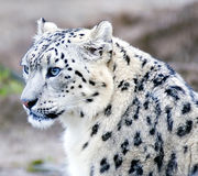 Endangered Snow Leopard Royalty Free Stock Images