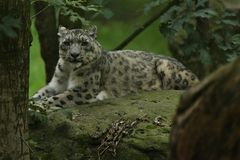 Endangered snow leopard resting in the nature habitat. Wild animals in captivity. Beautiful asian feline and carnivore. Uncia uncia Royalty Free Stock Photo