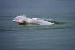 Endangered Sousa chinensis�Dolphin� Stock Image
