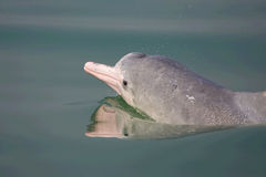 Endangered Sousa chinensis(Dolphin). Endangered Sousa chinensis Foraging fish in Beibu Gulf Chinese,The number of Sousa chinensis(Dolphin) is not more than Stock Image