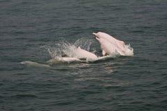 Endangered Sousa chinensis(Dolphin) Stock Image