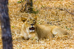 The endangered species of Asiatic Lion. Stock Image