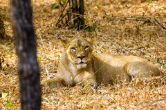 The endangered species of Asiatic Lion. Stock Photography