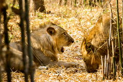 The endangered species of Asiatic Lion. Royalty Free Stock Photography