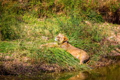 The endangered species of Asiatic Lion. Royalty Free Stock Image