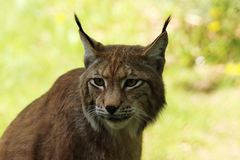 Portrait of an European Lynx, the third largest predator in Europe. Endangered species in Germany/Europe Royalty Free Stock Photography