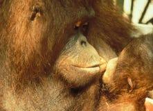 Endangered species Orang Utan Mother kissing her baby stock photos