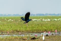 Endangered species pukeko Stock Image