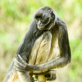 Endangered Spider Monkey. Sitting On An Electric Fence Stock Images