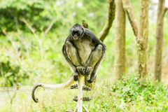 Endangered Spider Monkey. Sitting On An Electric Fence Stock Photo