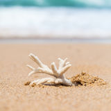 Endangered Staghorn Coral Skeleton Washed Up on Beach in Austral Royalty Free Stock Photography