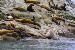 Endangered Stellar Sea Lions Stock Images