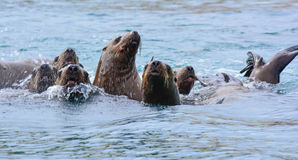 Endangered Stellar Sea Lions Royalty Free Stock Photo