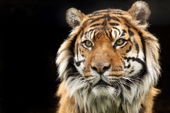 Endangered Sumatran Tiger. Beautiful Sumatran Tiger against a natural dark background Royalty Free Stock Images