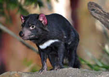 Endangered tasmanian devil Royalty Free Stock Photos
